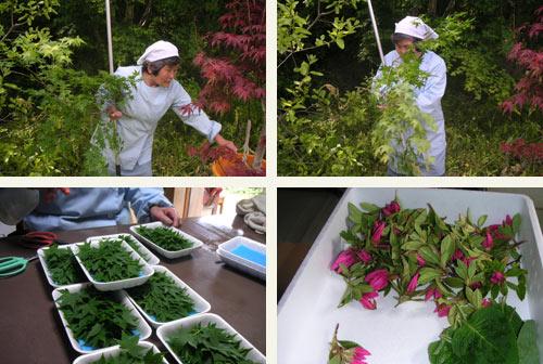 収穫作業をする増喜子さん。会員は個々人がそれぞれの土地で収穫をする。つまり庭先の葉っぱが収入源になるのだ。