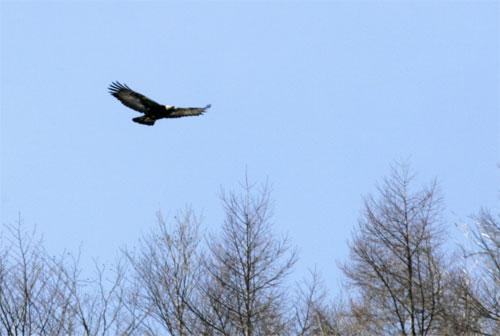 golden eagle wallpaper. A golden eagle flying over the